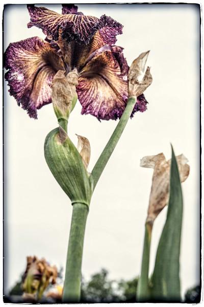 Iris #4