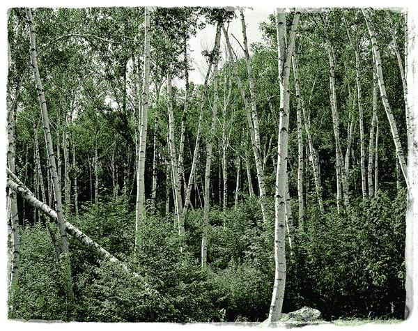 White Birch, White Mountains - Mono