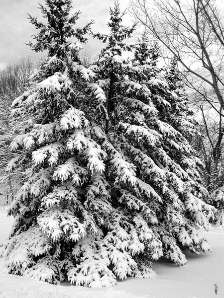 Winter Fir