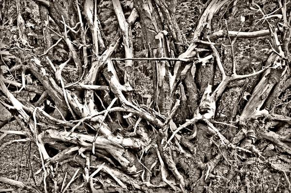 Platinum Roots