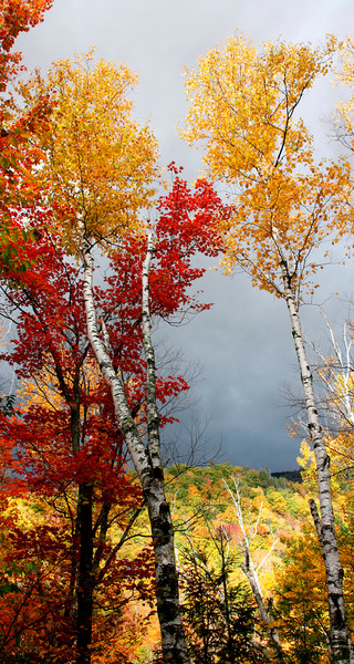 fall foliage birch trees white mountians colorful leaves