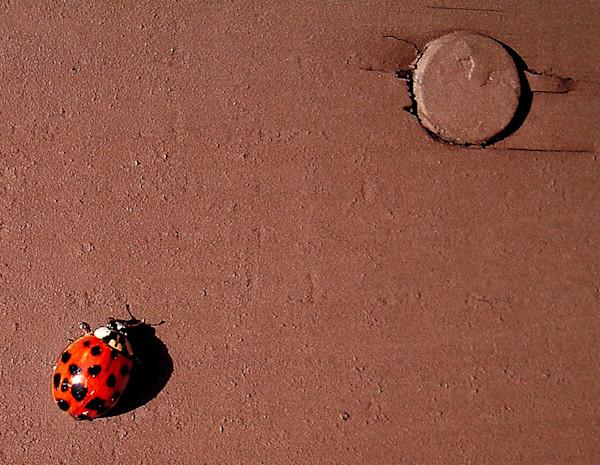 lady bug close up