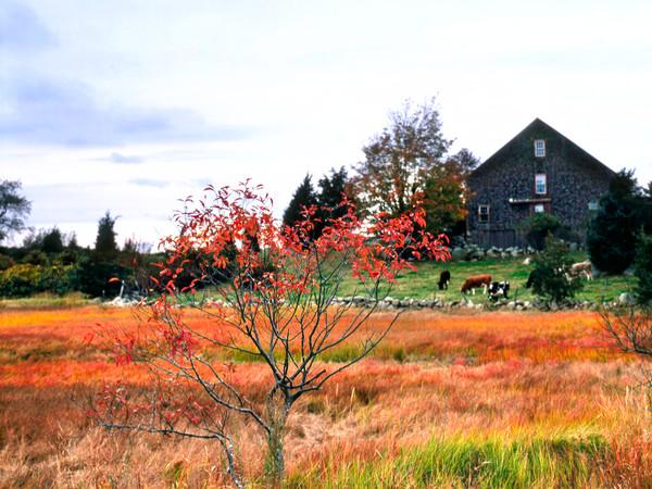 red leaves barn marsh cows fall essex