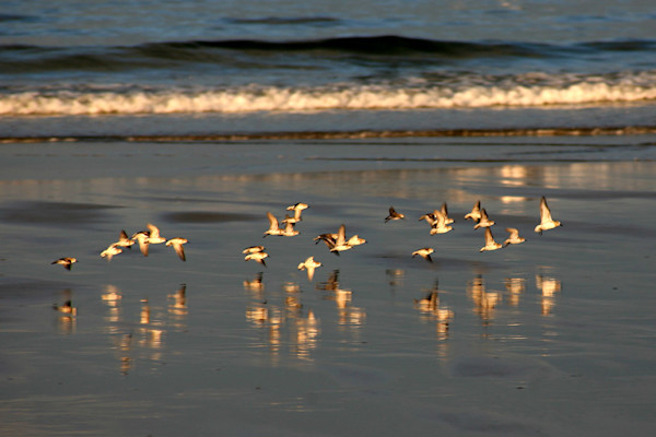 sand pipers in flight beach reflection