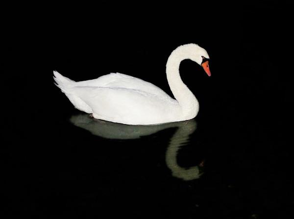 swan rockport harbor night