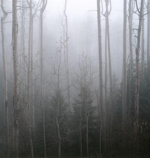 Aspens And Fog