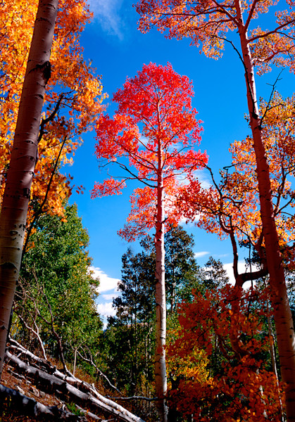 The Red Aspen