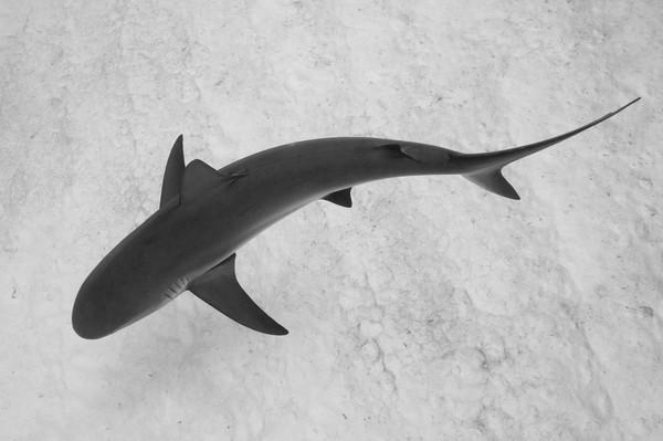 Caribbean Reef Shark Silhouette, Grand Bahama Island