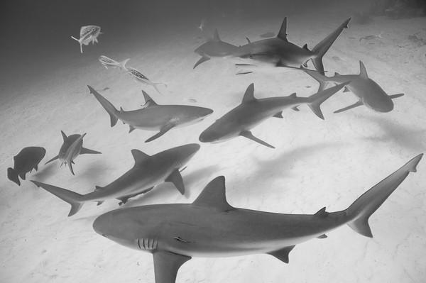 Caribbean Reef Sharks, Grand Bahama Island