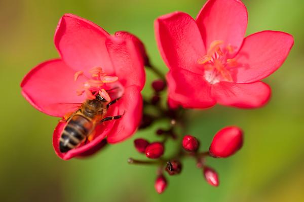 Honeybee, Rakiraki, Viti Levu, Fiji