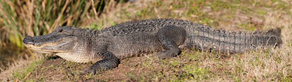 American Alligator Pano, Damon, Texas