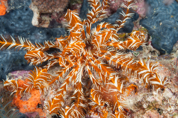 Feather Star & Sponge, Raja Ampat, Indonesia