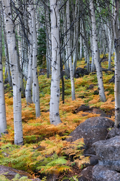 Aspens and a carpet of golden ferns