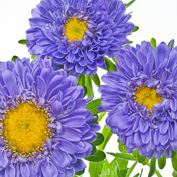Blue Aster Three