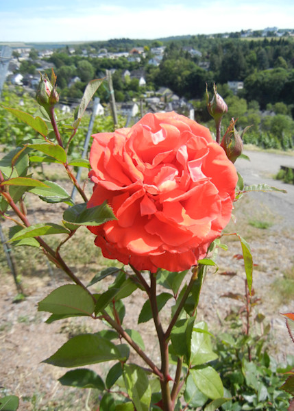 Trier Rose