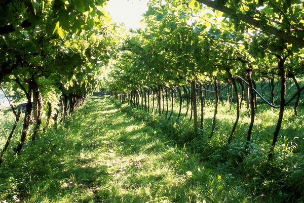 La Strada del Vino