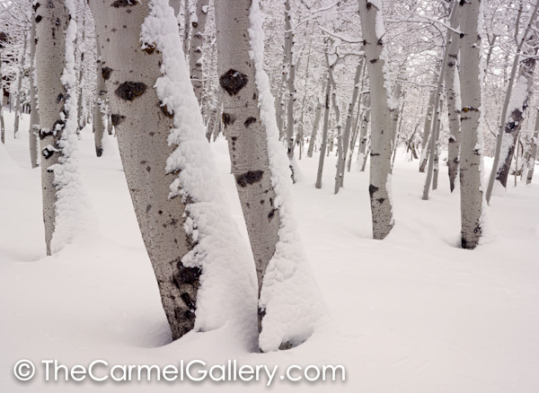Aspen Forest in Winter