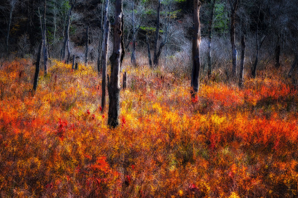 A painterly autumn nature scene that makes a colorful home decor fine art print. Titled the Painted Swamp by Thom Schoeller