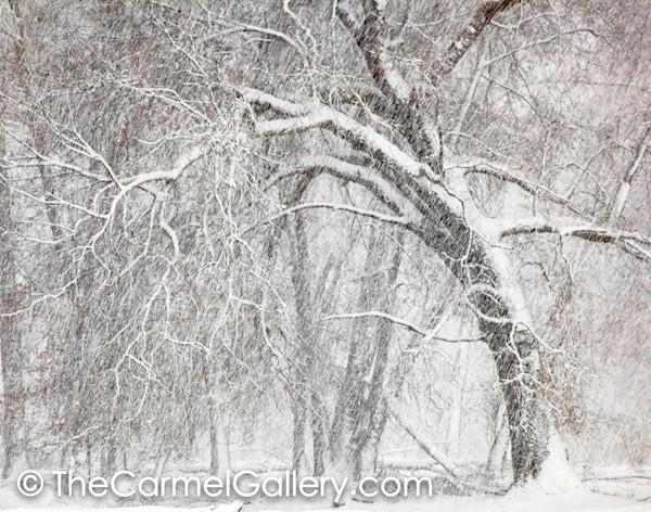 Oak and Winter Storm BW