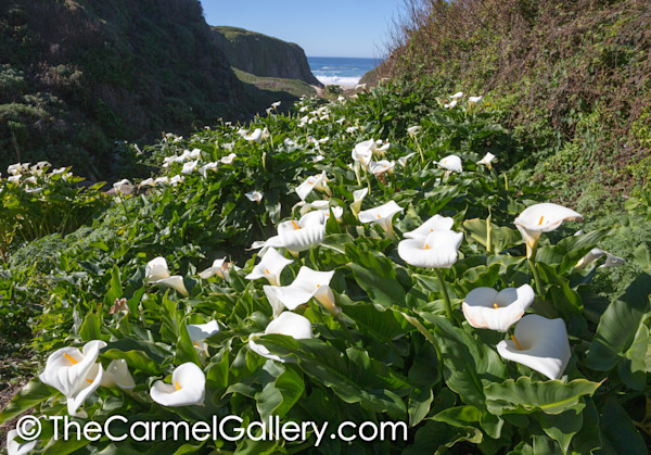 Calla Lilly Coast