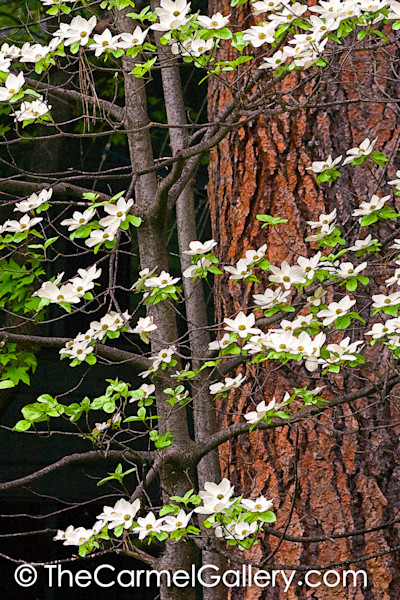 Dogwood and Jeffrey Pine