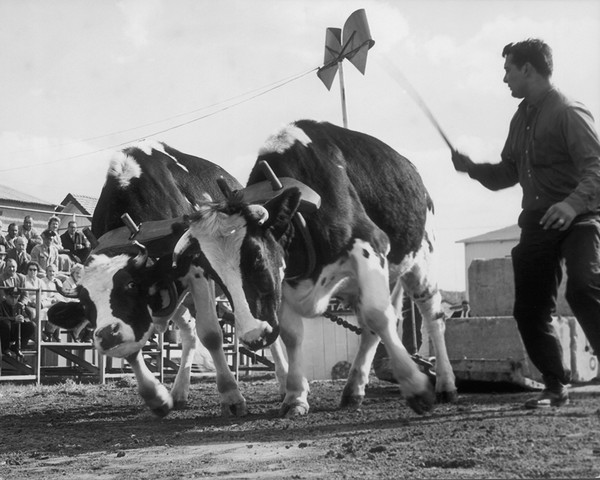 The Oxen Pull At The Danbury State Fair