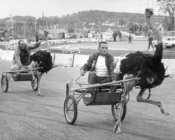 Ostrich Races at the Fair