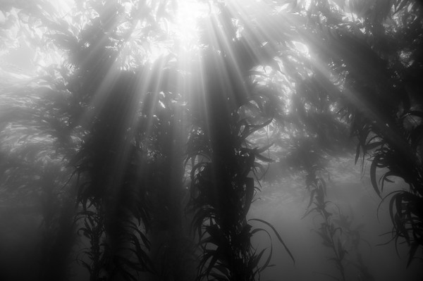 Giant Kelp Forest & Sun Rays BW, Catalina Island, California