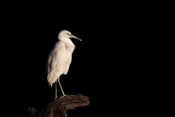 Juvenile Little Blue Heron 2