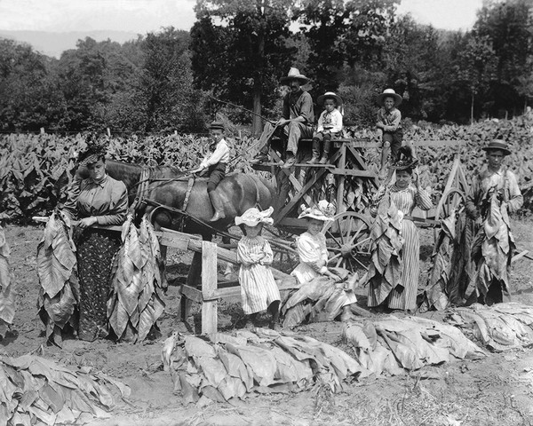 Tobacco Field Workers