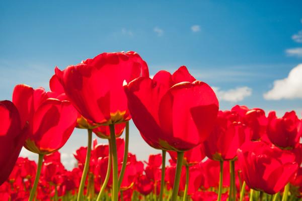 Fine art print of red tulips, Skagit Valley, flowers