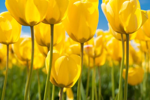 Yellow tulips, Skagit Vally, flowers