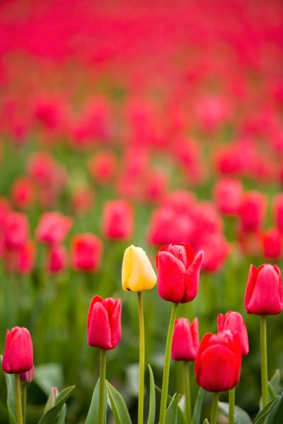 red tulips, Skagit Valley, flowers