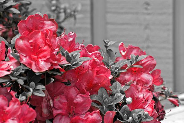 Red Azalea's