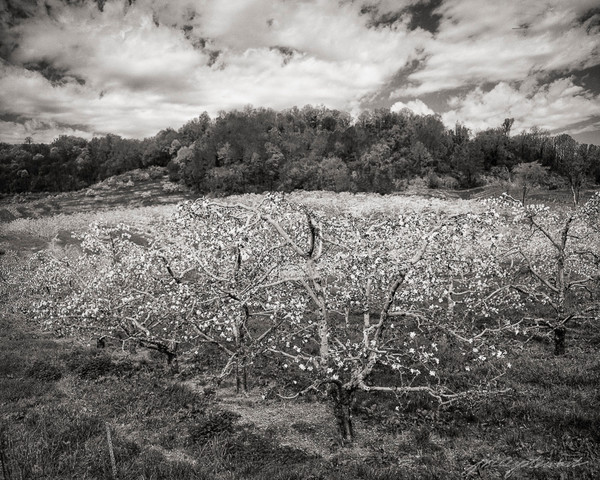 Apple Orchard Under a Spring Sky