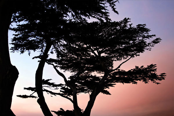 Cypress Silhouette 1