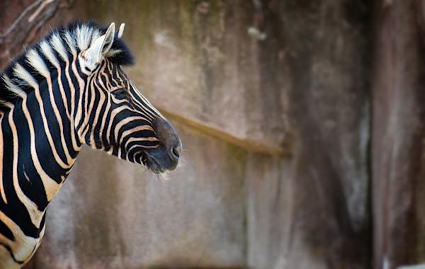 Zebra Profife