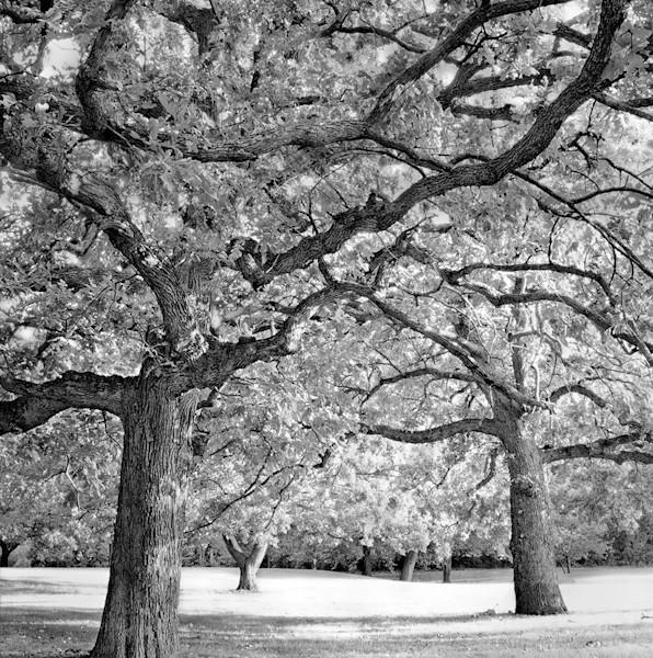 Oaks in the Park - bw