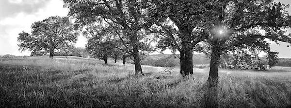 Pasture Oaks, Morning Light - bw