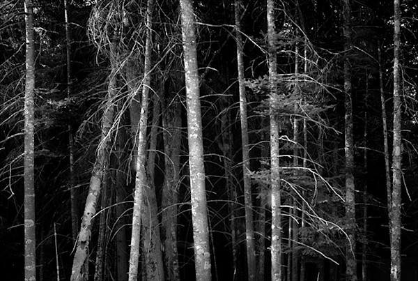 Rhythm of the Trees - bw