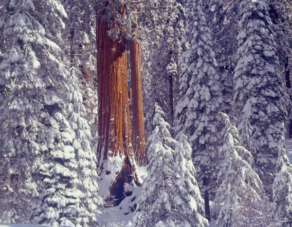 Giant Sequoia trees covered snow.