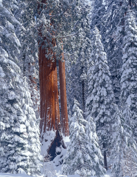 Giant Sequoia forest covered snow.