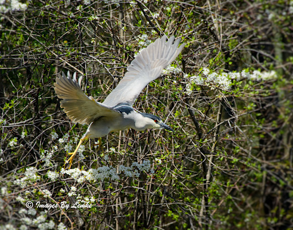 Black-crowned Night-Heron takes flight