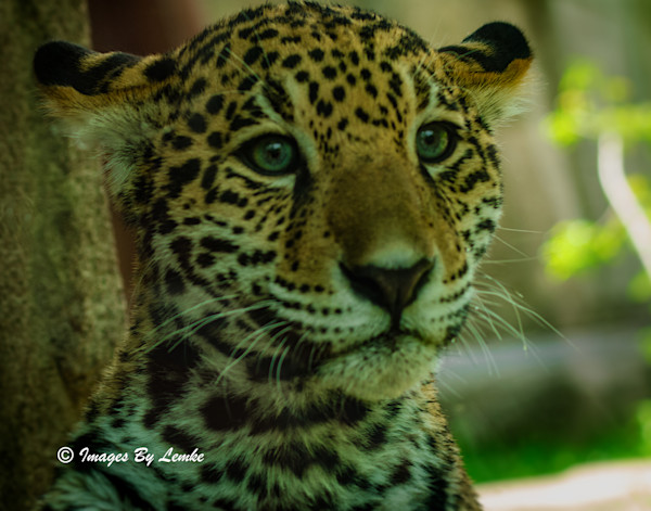 Jaguar Cub closeup