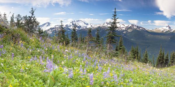Alpine Wild Flowers - Whistler