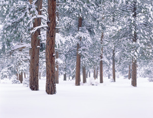 Snow covered Ponderosa forest