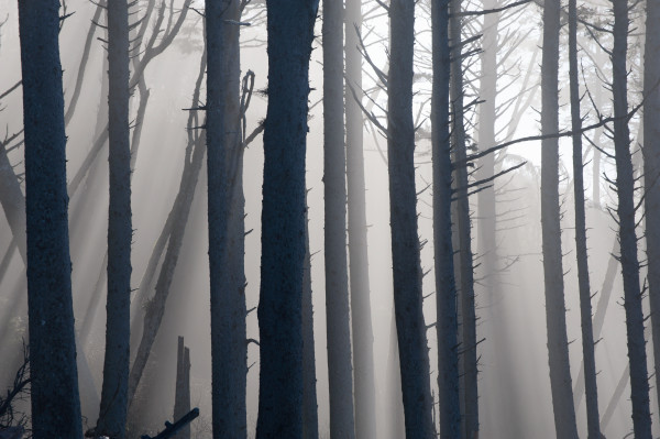 Forest and fog