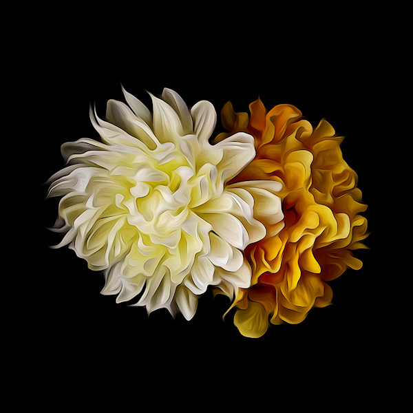 A white Chrysanthemum Bloom on a back background