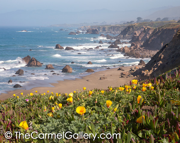 California Poppies Sonoma Coast