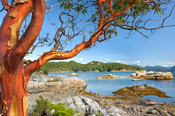 Red Arbutus On Ragged Island